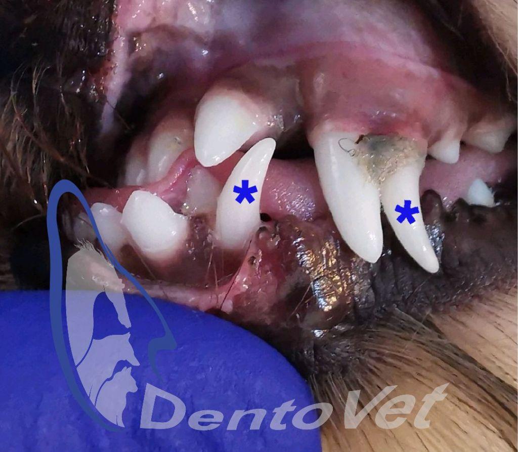Luna sănătății orale - persistenta de dinti temporari la caine