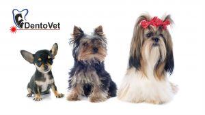 Rasele foarte mici de câței și boala parodontală la câini