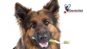 Rasele mari cîini și boala parodontală