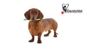 Rasele mici de câței și apariția bolii parodontale