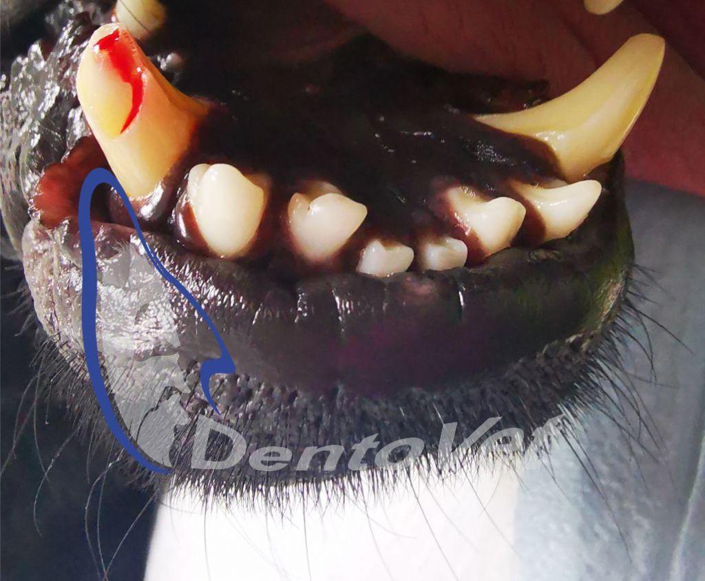 Fracturile dentare la caine - fractura recenta
