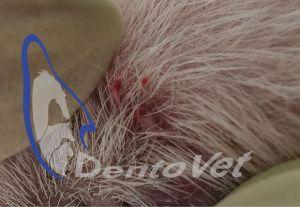 Urgențele dentare în stomatologia veterinară la felin - fistula