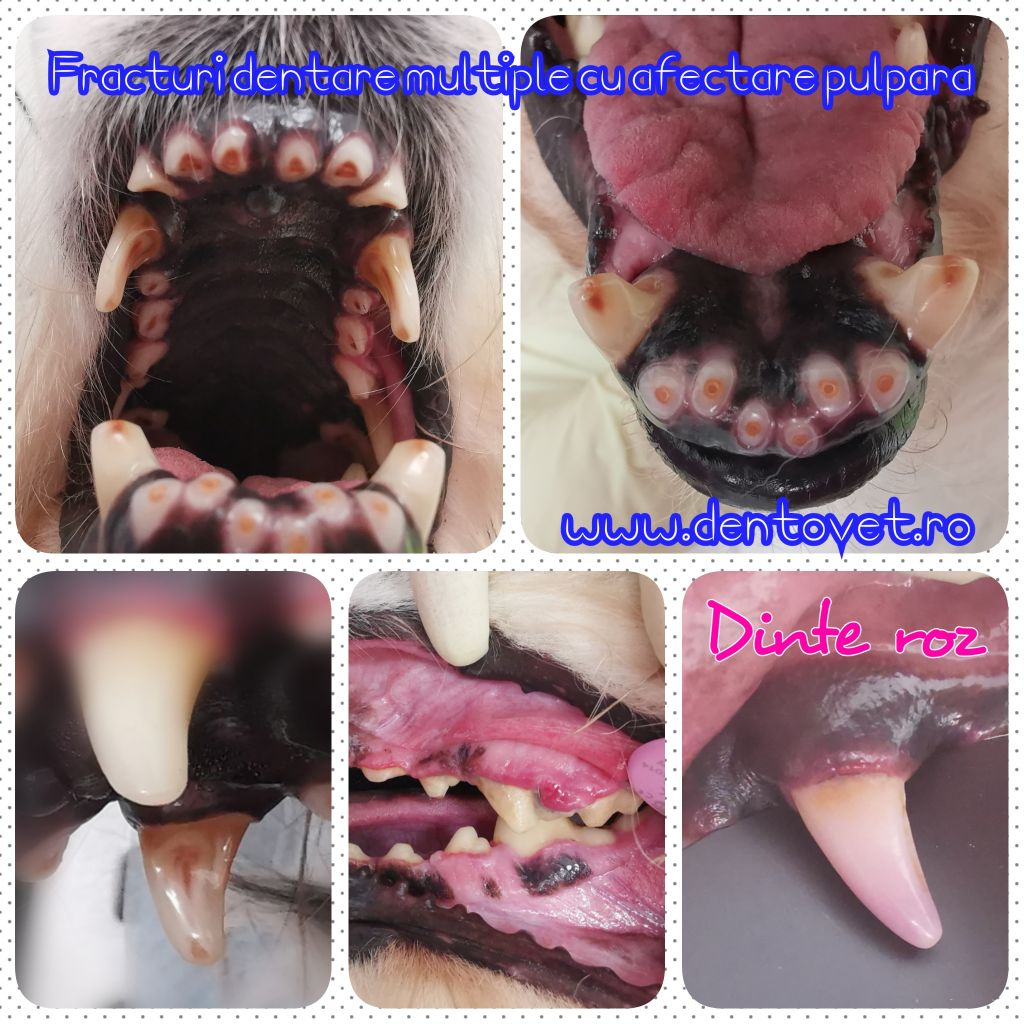 Bucuriile stomatologiie veterinare - sinteza caritabile ianuarie 2020