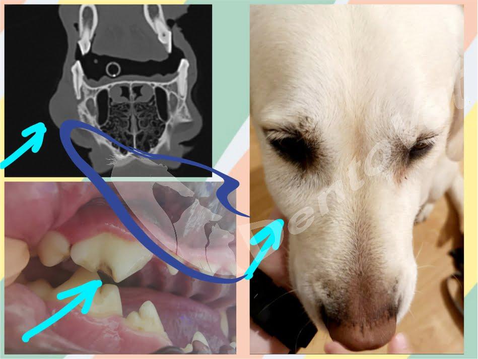 Urgențele dentare în stomatologia veterinară la câini - abces dentar la doi ani