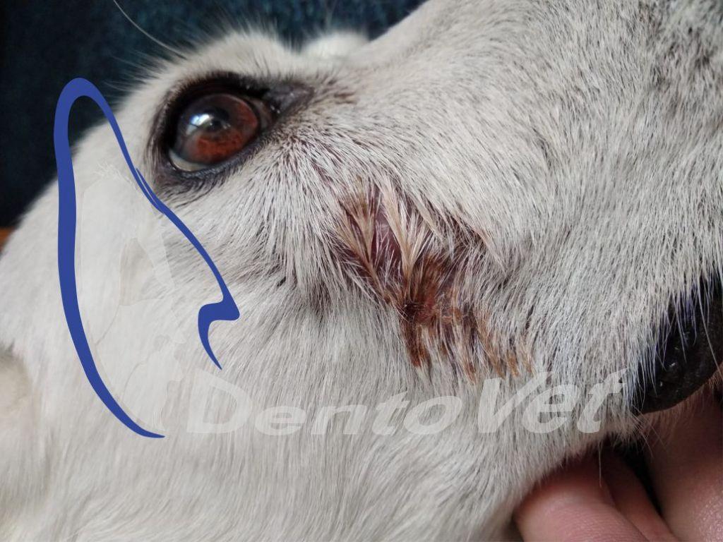 Urgențele dentare în stomatologia veterinară la câini - fistula suborditara
