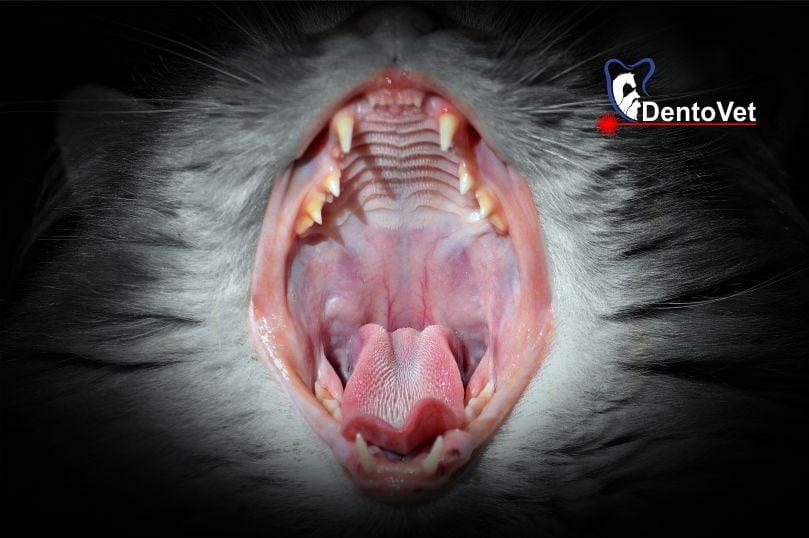 Pozitie excentrica in arcul dentar - Urgențele dentare în stomatologia veterinară la feline