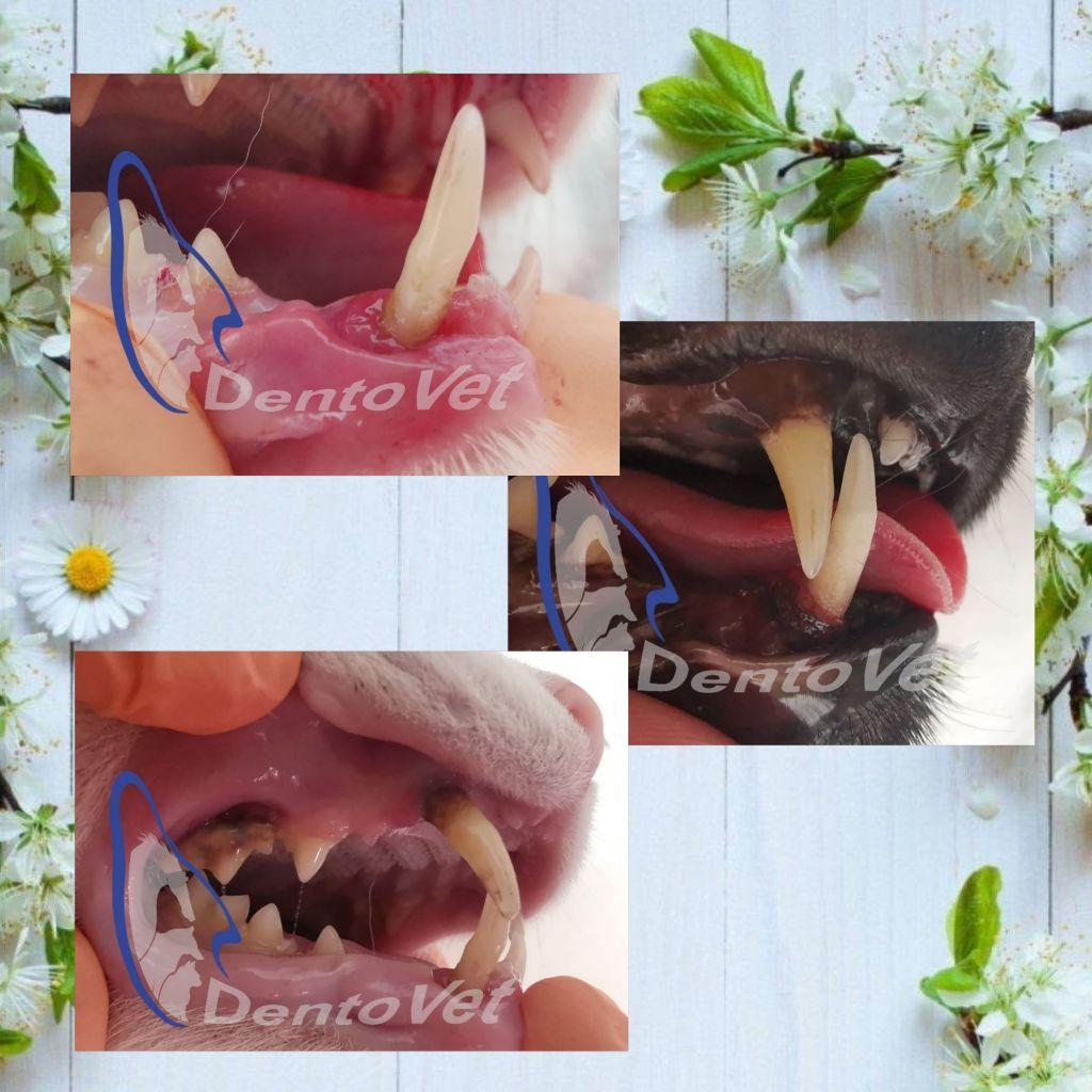 Urgențele dentare în stomatologia veterinară la felin - colaj