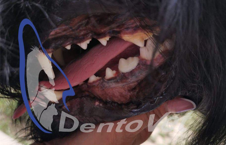 Completare PM4 - Pediatria stomatologică veterinară canină și felină