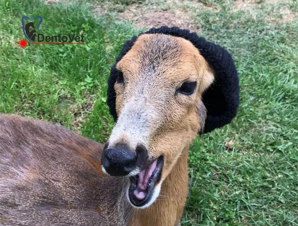 Stomatologie veterinară pentru Bambi - final