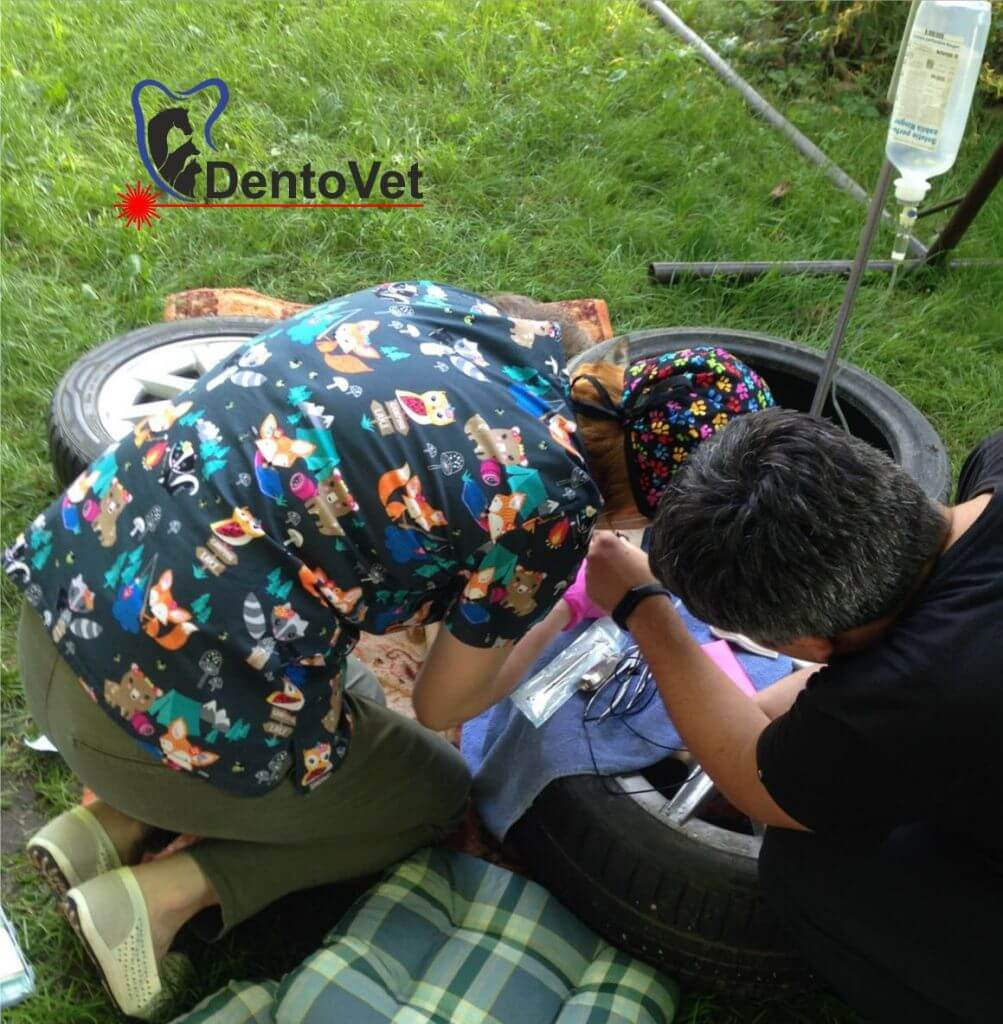 Stomatologie veterinară pentru Bambi in timpul interventiei
