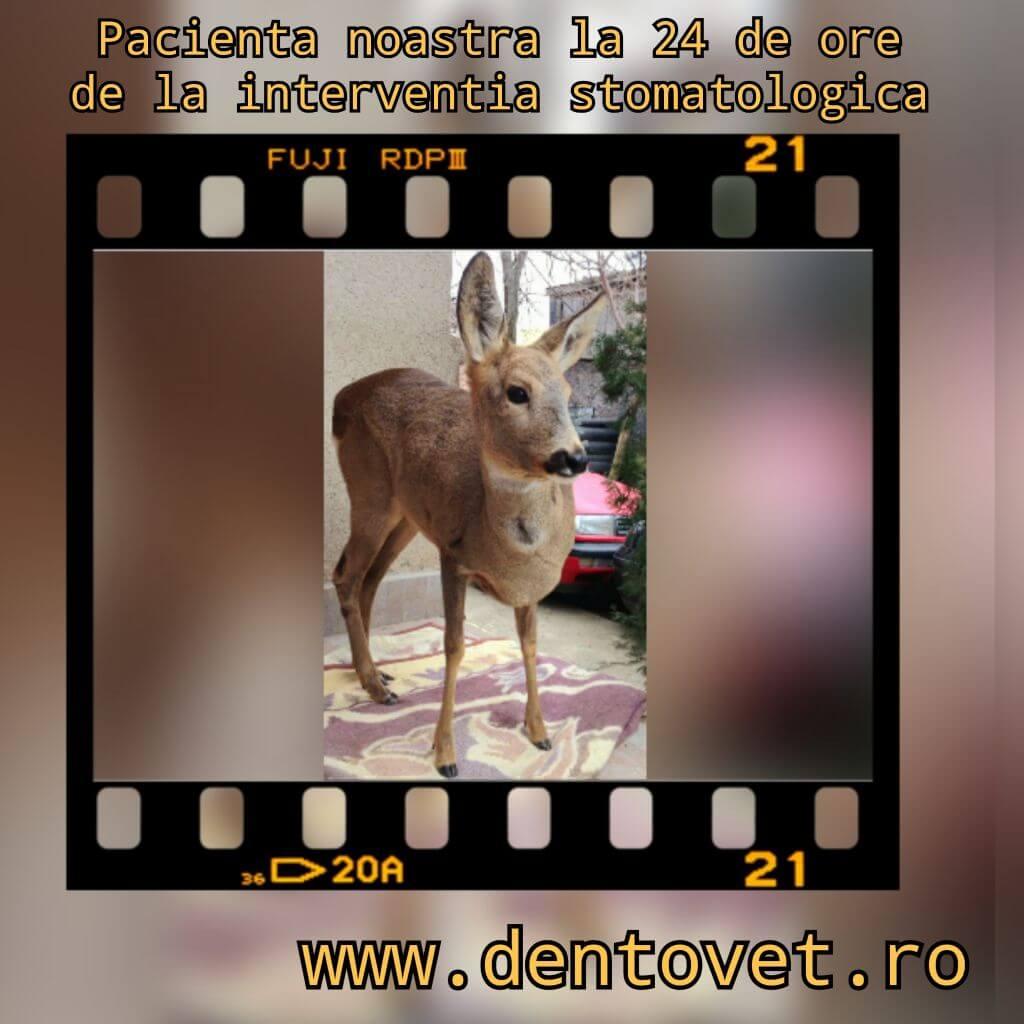Stomatologie veterinară pentru Bambi