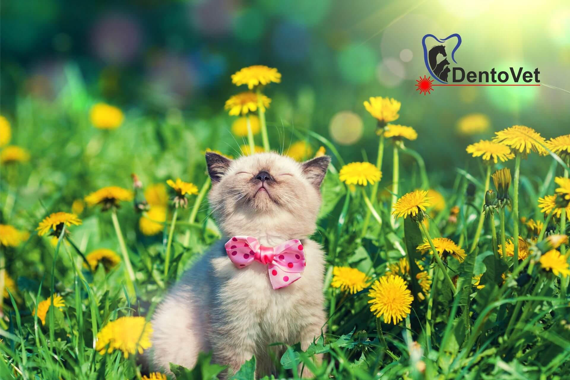 Extracția dentară în stomatologia veterinară la pisici