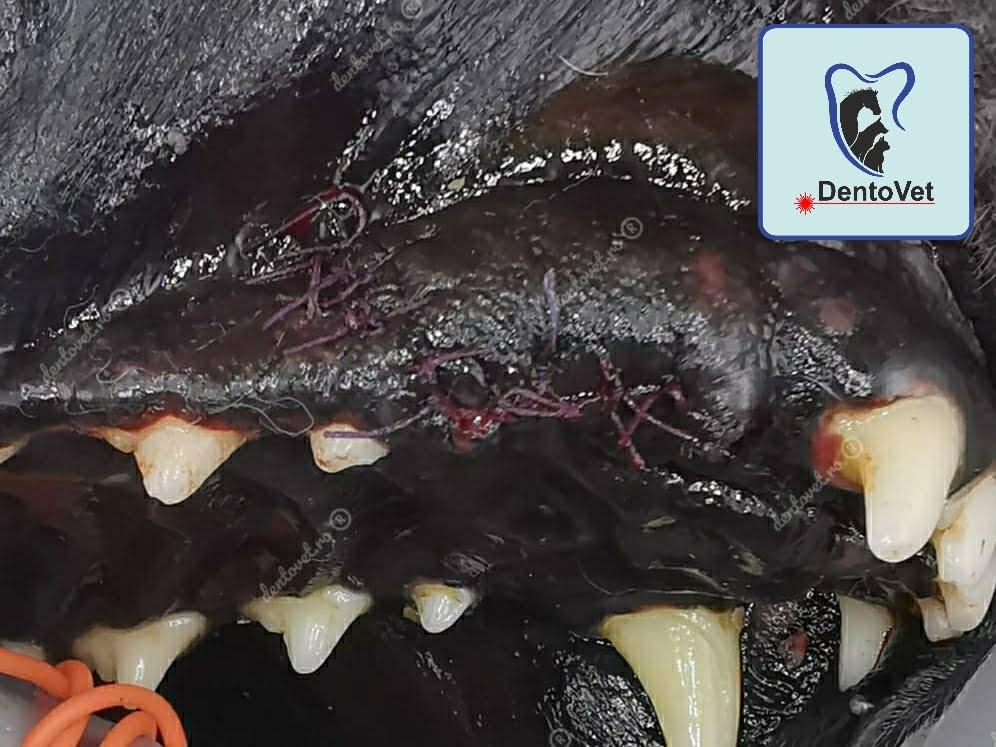 Sutură dentara caini