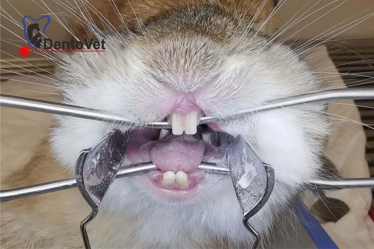 stomatologie veterinara iepuri