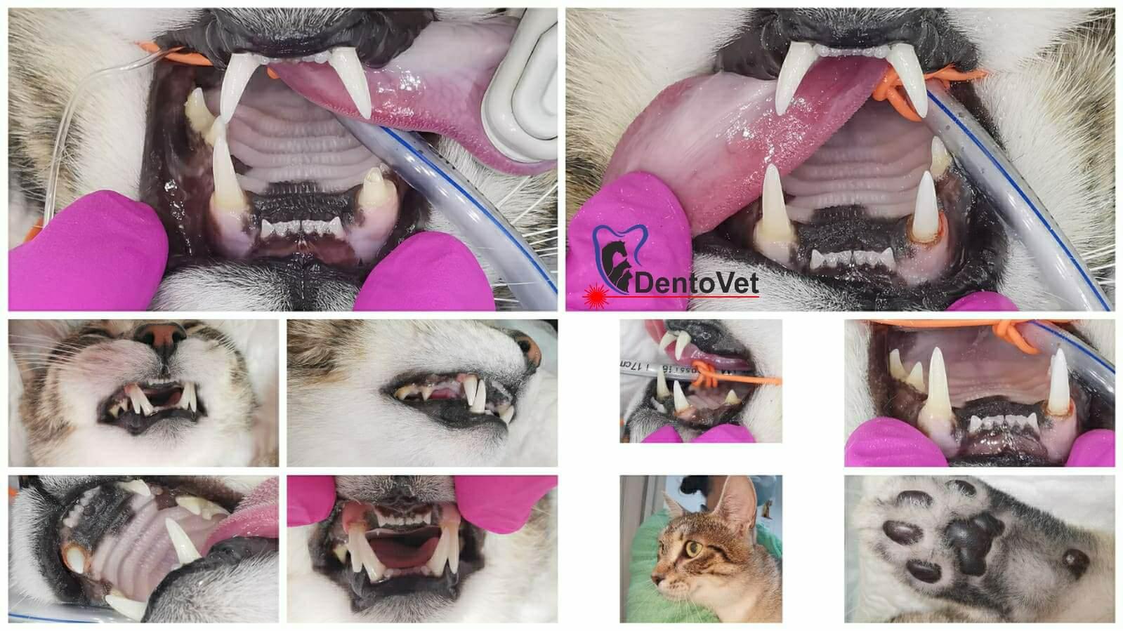 interventie stomatologica veterinara la pisici