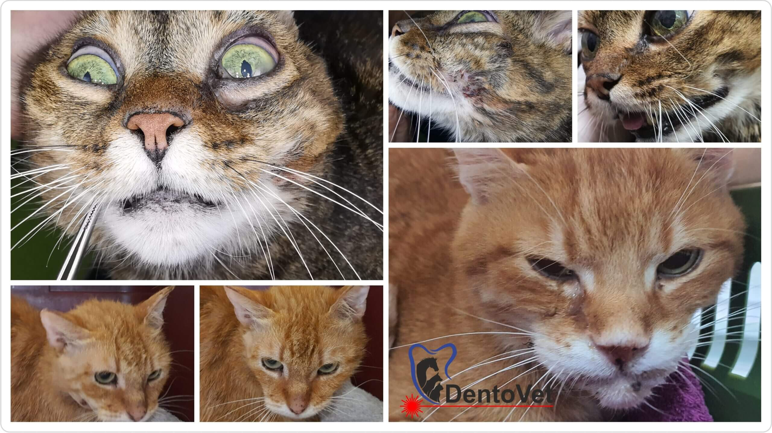 Abcese dentar la pisici