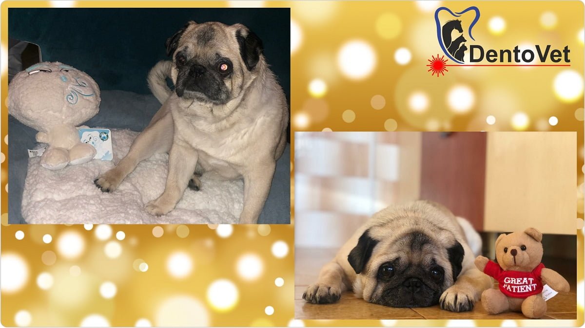 Stomatologie veterinara pentru mops - Puggy