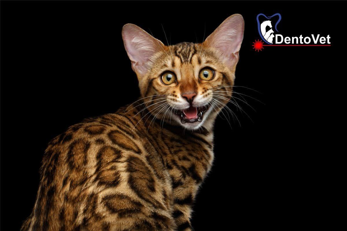 Pisica bengaleză