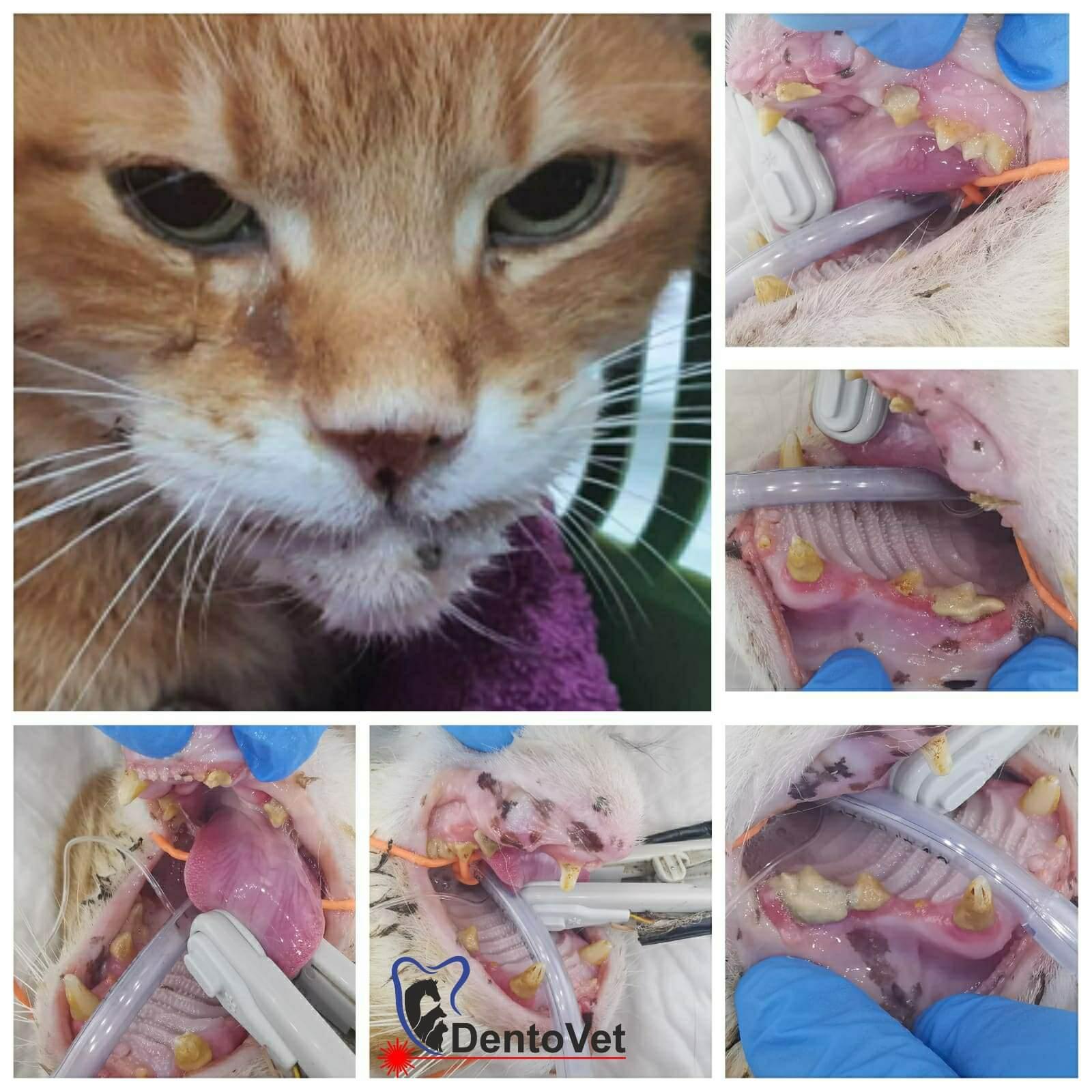Caz Stomatologie veterinara pentru pisici la Dentovet - Kenny