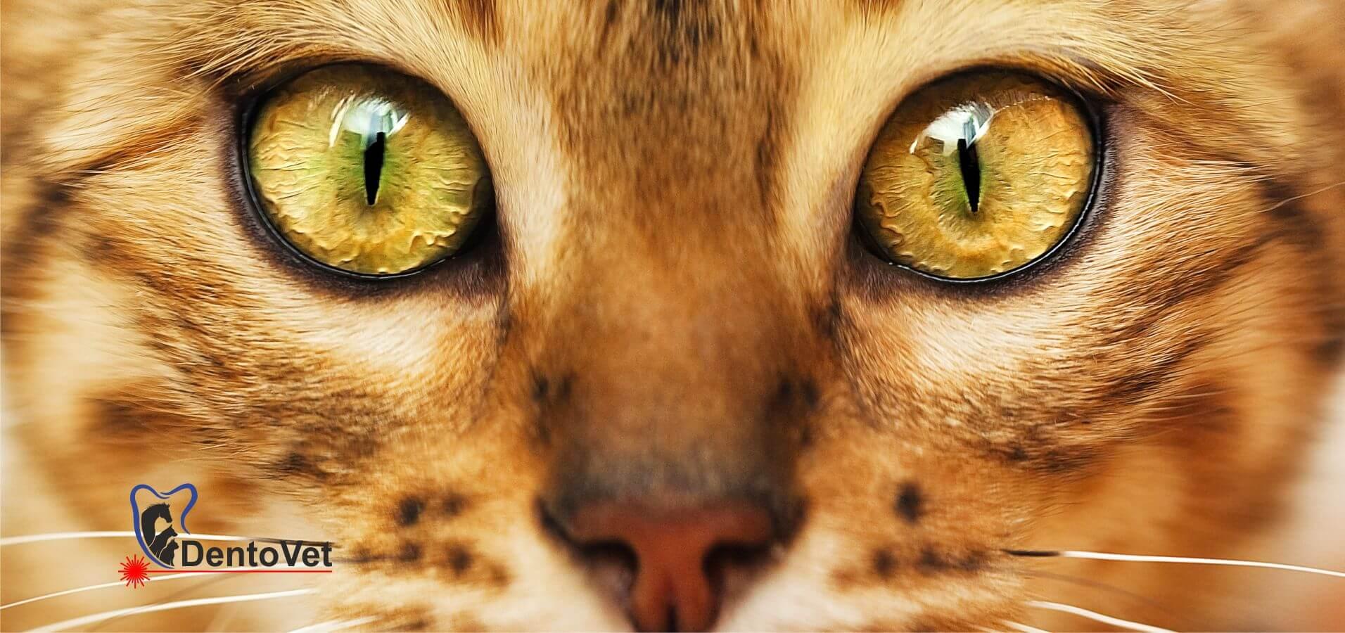 Stomatologie veterinară la o pisică bengaleză