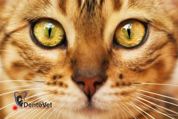 Stomatologie veterinara pentru Pisica bengaleza