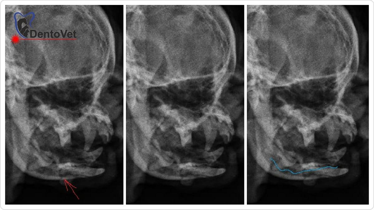 Rasa mops - radiografii