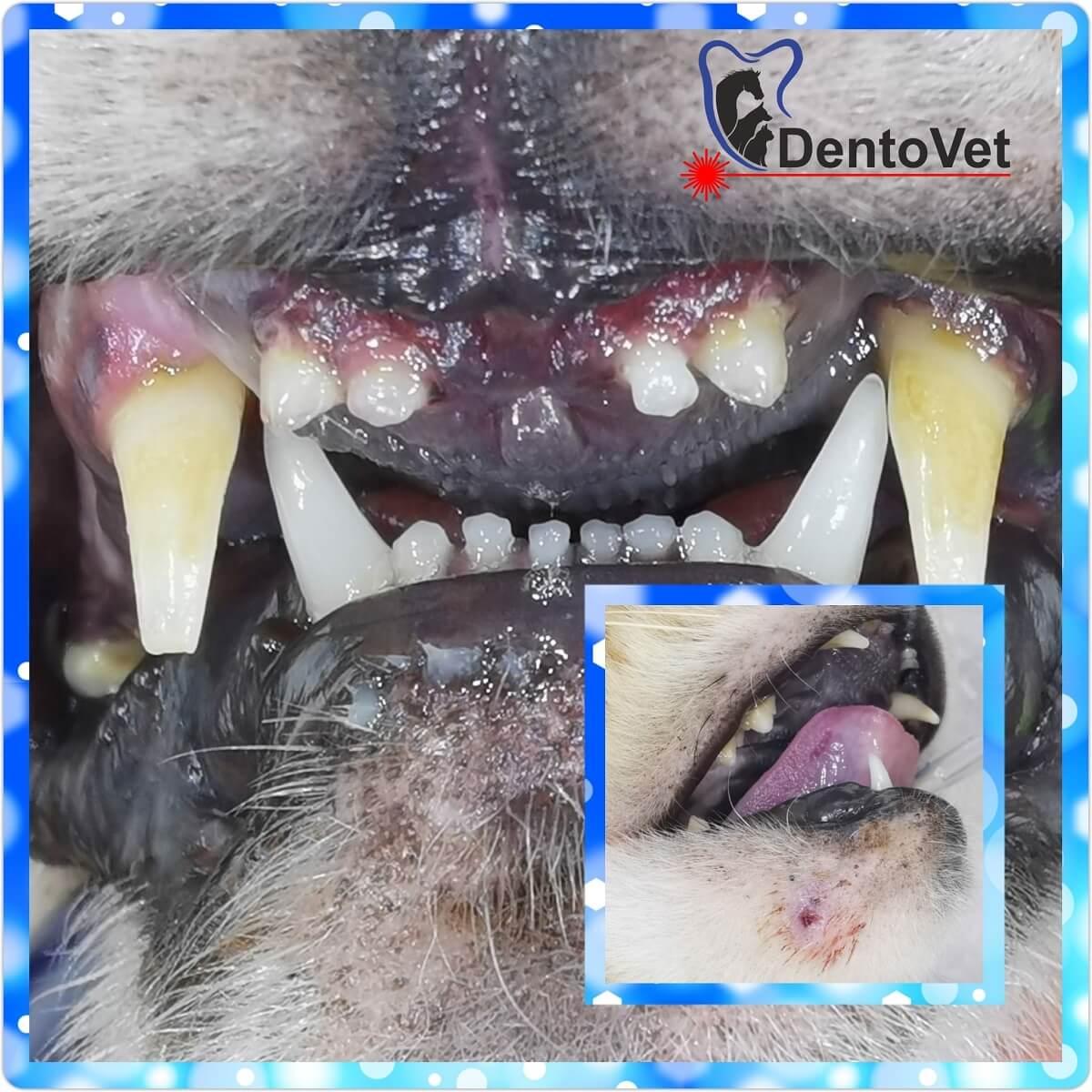 Stomatologie veterinara la bengaleza - situatie initiala