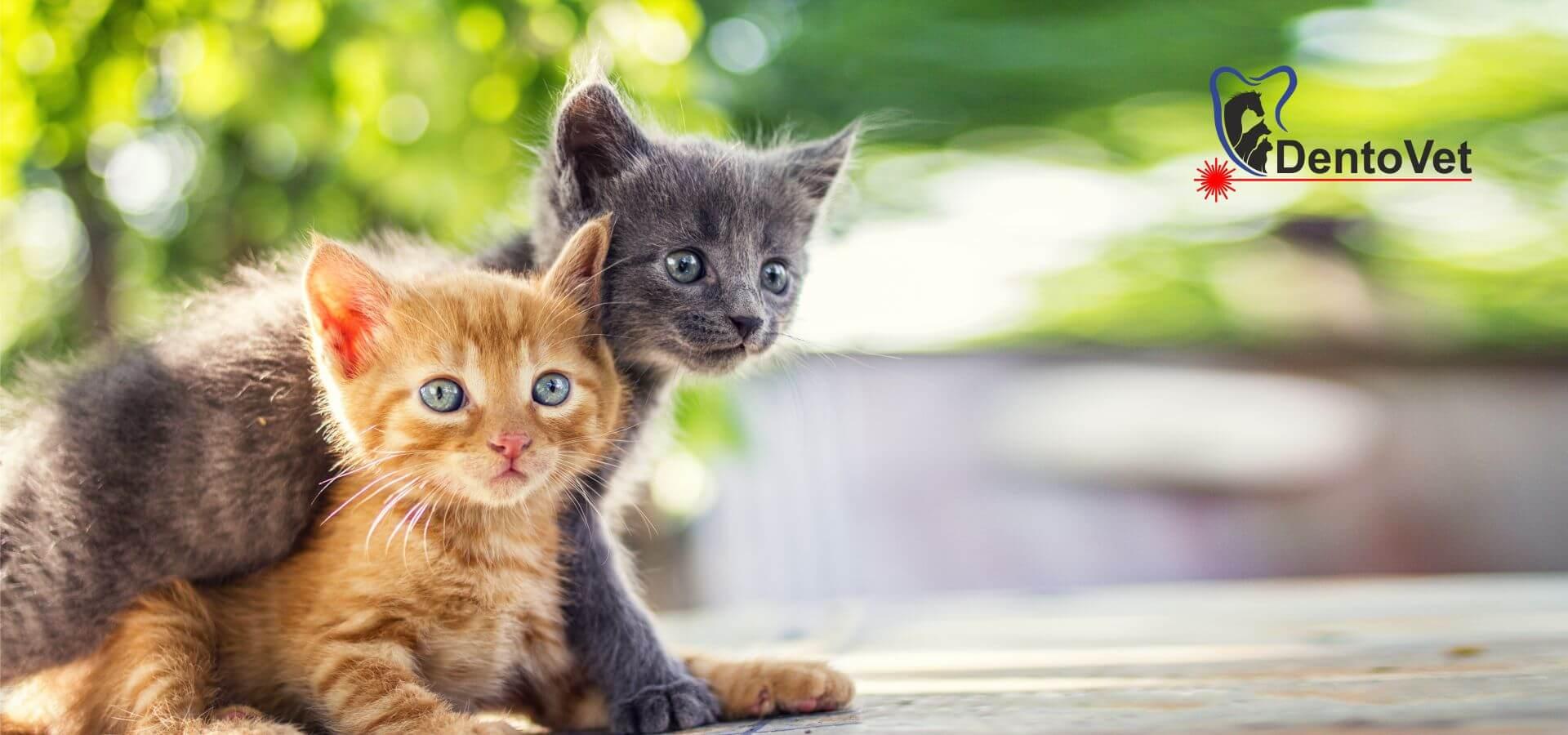 Stomatologie veterinară pentru pisici la Dentovet