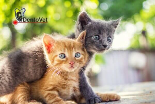 Stomatologie veterinara pentru pisici