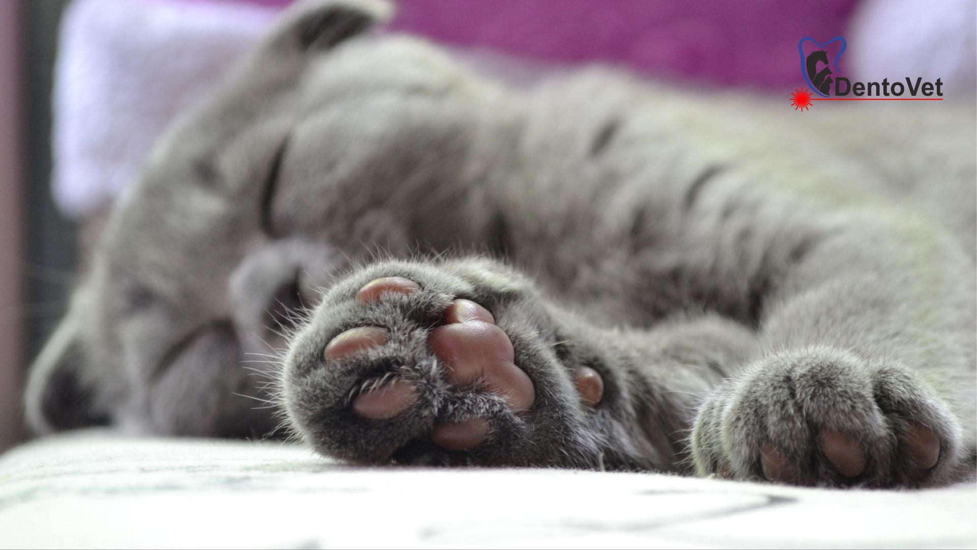 Cronica unui caz de stomatologie veterinară la pisică - final