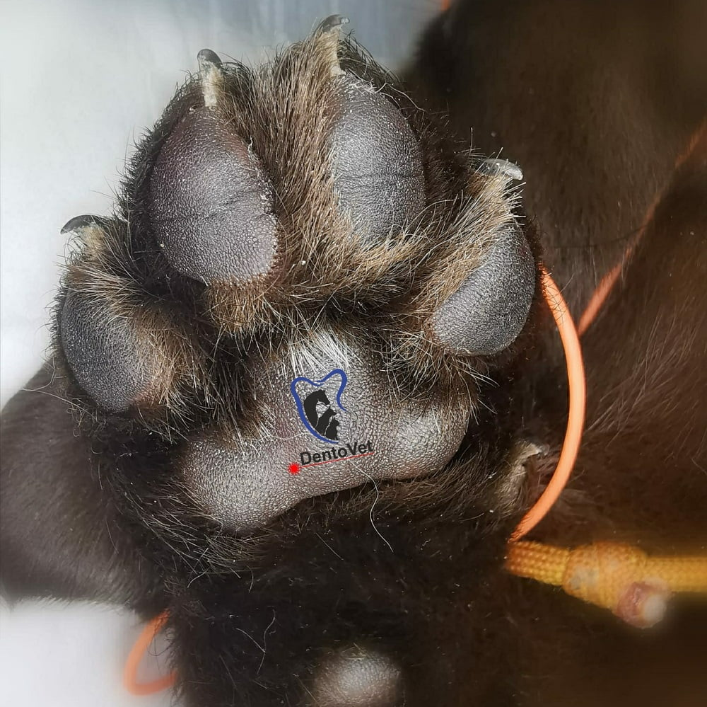 Labuta labrador - stomatologie veterinara