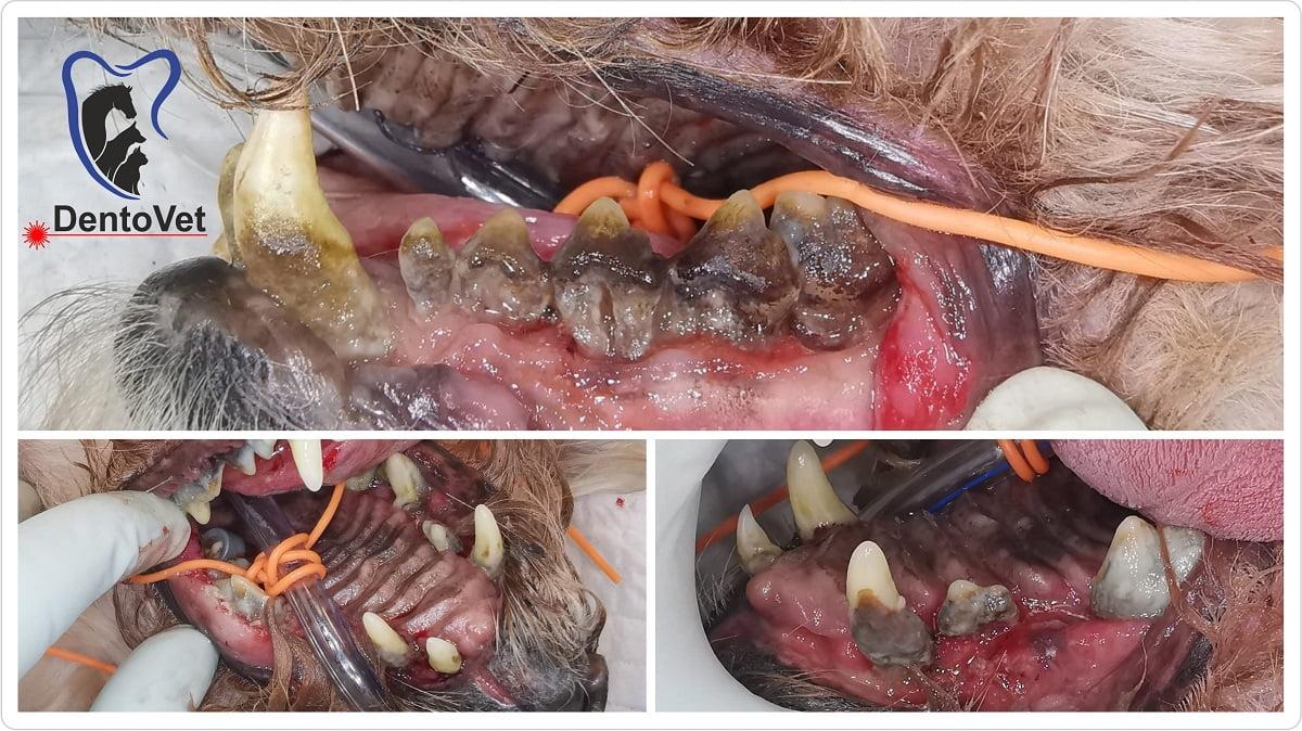 Colaj pacient 1 - stomatologie veterinara
