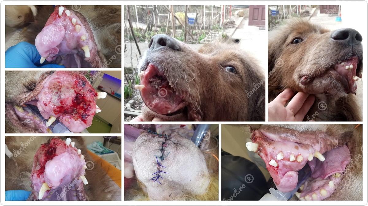 Mandibulectomie rostrală la caine