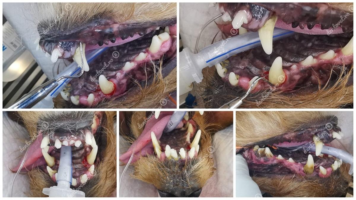 Extracții multiple chirurgicale pentru un teckel
